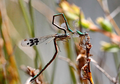 Hemiphlebia mirabilis intra-male sperm translocation behaviour.png