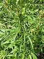 Hemp plants-cannabis sativa-single 2.JPG