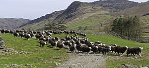 A herd of Herdwick sheep in Cumbria.
