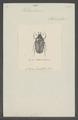 Heterorrhina - Print - Iconographia Zoologica - Special Collections University of Amsterdam - UBAINV0274 022 01 0034.tif