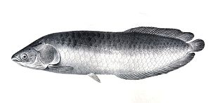 Heterotis niloticus The fishes of the Nile.jpg