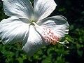 Hibiscus Dainty White.jpg