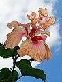 Hibiscus Orange El Capitolio.jpg