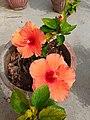 Hibiscus flower (3).jpg
