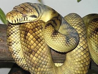 Amethystine python Species of snake