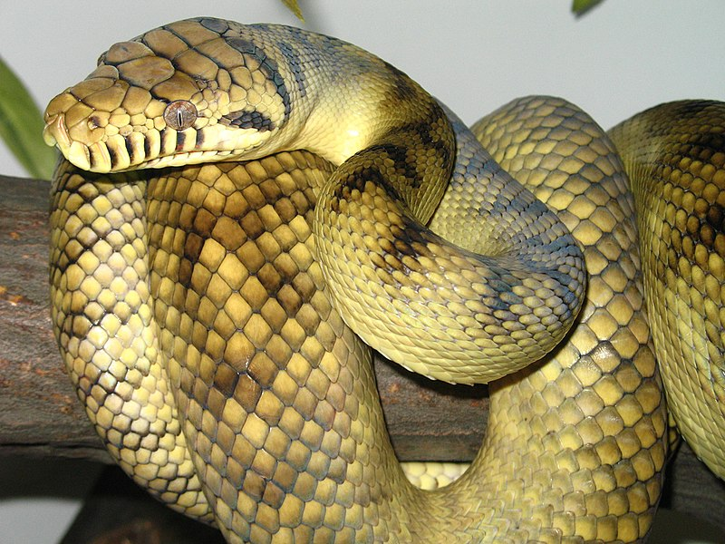 Sanca permata, ular terbesar