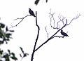 Hill Mynahs (Gracula religiosa) (15202882283).jpg