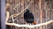 File:Himalayan Monal warbling by DaijuAzuma.ogv