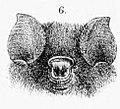 Hipposideros fuliginosus.jpg