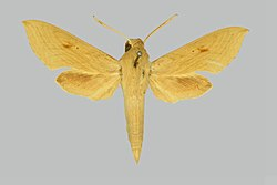 Hippotion pentagramma BMNHE274934 male up.jpg