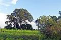 Historic Muvule Tree 2.jpg