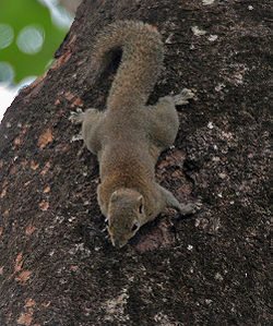 Hoary-bellied Squirrel at Jayanti, Duars, West Bengal W Picture 452.jpg