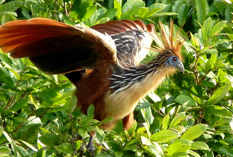 Hoatzin in Peru from wikipedia (wikimedia commons, CC BY-SA 2.0)