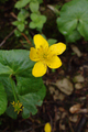 Hoher Vogelsberg Schotten SCI 555520798 Caltha palustris det flower.png