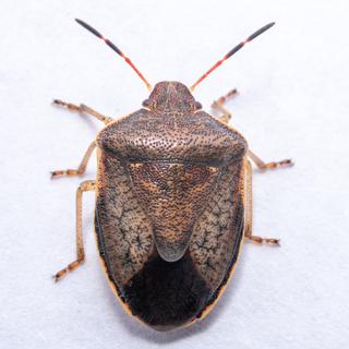 <i>Holcostethus limbolarius</i> Species of true bug