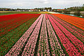 Holland tulips.jpg