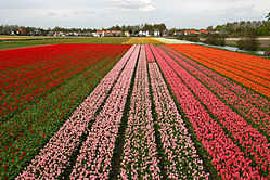 As you can see, tulips are a Dutch speciality.