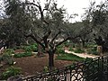 Holy Land 2016 P0993 Gethsemane olive trees.jpg