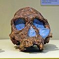 Hominidae skull.jpg
