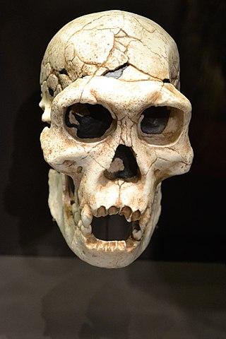 Reproducción de un cráneo de Homo georgicus