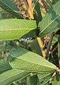 Homonoia riparia 09.JPG