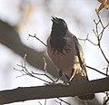 Hooded crow (31042632016).jpg