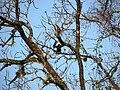 Hoolock Gibbon IMG 9509 02.jpg