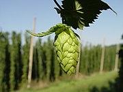 Hop cone, Hallertau, Germany.