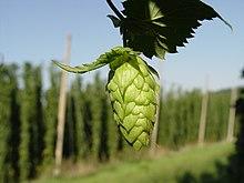 b34dbb672 List of hop varieties - Wikipedia
