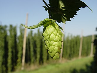 Brewing - Hop cone in a Hallertau, Germany, hop yard