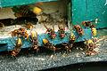 Hornissenjungköniginnen (Vespa crabro).jpg