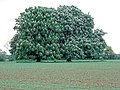 Horse chestnuts in flower (2) - geograph.org.uk - 414435.jpg