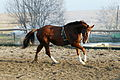 Horse holstein.JPG