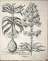 Hortus Eystettensis, 1640 (BHL 45339 202) - Classis Aestiva 50.jpg