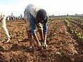 Hot pepper plantation.jpg