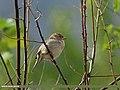House Sparrow (Passer domesticus) (20391979759).jpg