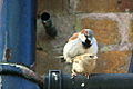 House Sparrows mating 2.jpg