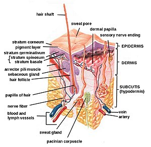 A complete diagram of the human skin.
