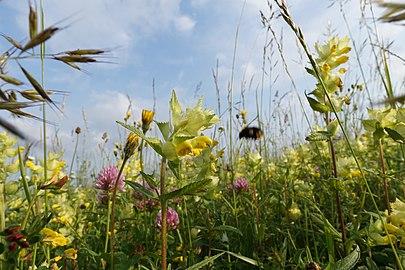 Hummelwiese im Gebiet Vogelschutzgehoelz Auersmacher.jpg