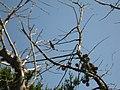 Humming bird on Cupressus forbesii at Coal Canyon-Sierra Peak, Orange County - Flickr - theforestprimeval.jpg