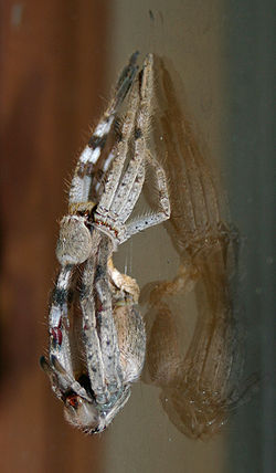 Huntsman spider discarding its old exoskeleton 1.jpg
