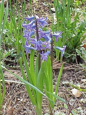 Gartenhyazinthe (Hyacinthus orientalis)