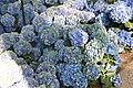 Hydrangea macrophylla Mathilda Gutges 6zz.jpg