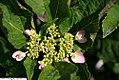 Hydrangea macrophylla Shamrock 1zz.jpg