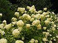 Hydrangea paniculata 03 ies.jpg