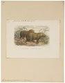 Hydrochoerus capybara - 1700-1880 - Print - Iconographia Zoologica - Special Collections University of Amsterdam - UBA01 IZ20600077.tif