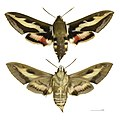 Hyles gallii MHNT female.jpg