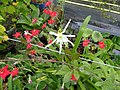Hymenocallis festalis and Petunia excerta - Flickr - peganum.jpg