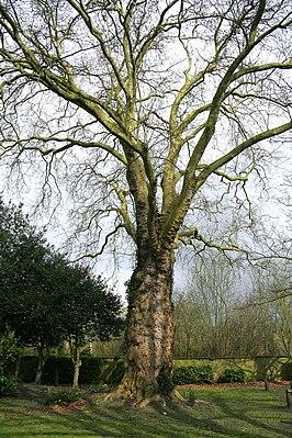 Maple-leaved plane tree (Platanus × acerifolia)