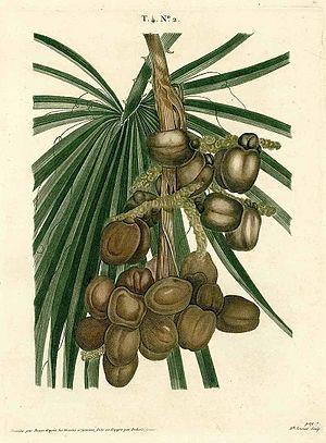 Pancrace Bessa - Image: Hyphaene thebaica (L.) Mart.00
